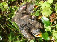 Weiterlesen: Junge Amseln in Pätzmanns Garten