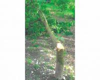 Weiterlesen: Geschrei und Axtschläge: Unbekannte fällen Baum der Stadt Bad Sachsa