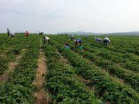 Weiterlesen: Erdbeer-Ernte
