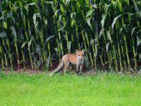 Weiterlesen: Junger Fuchs am Südharzer Mais-Feld