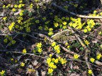 Weiterlesen: Winterlinge im Wald bei Nüxei