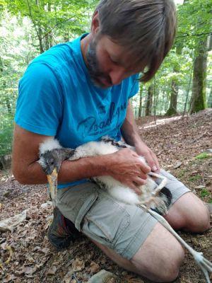"""Als """"Ersthelfer"""" bei der Schwarzstorch-Rettung war Joachim Neumann in den Horstbaum geklettert, um die verhungernden Jungvögel zu bergen. Landesforsten und NABU Artenschutzzentrum wollen die geschützten Tiere pflegen und anschließend auswildern."""