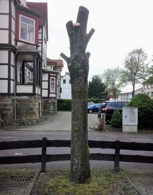 Laut BUND ein Beispiel für einen unsachgemäß beschnittenen Baum.