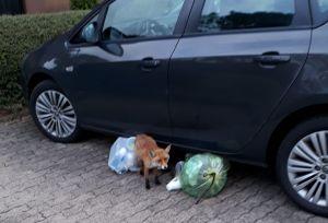 Unterm Auto hab ich meine Ruhe ... (Foto: Hans Nebel)