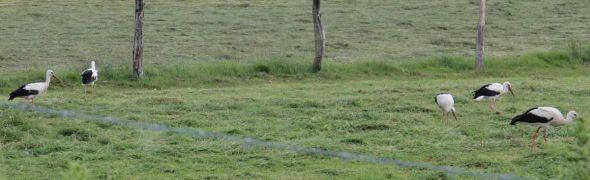 5 der 8 gesichteten Störche