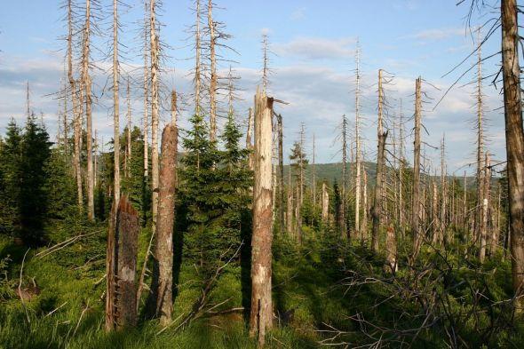 Waldwandel auf dem Bruchberg im Nationalpark Harz. (Foto: Ingrid Nörenberg)